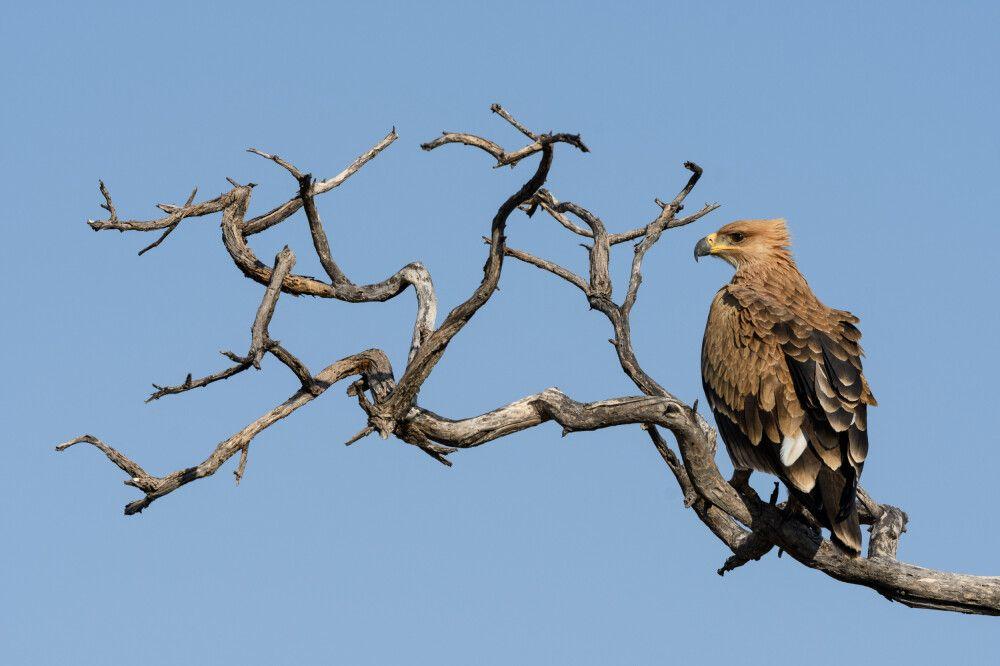 Landeplatz mit Fernsicht: Ein Raubadler hält Ausschau, Central Kalahari Game Reserve.