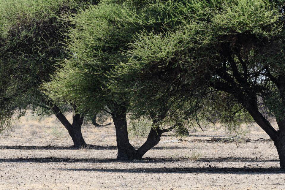 Knorrige Schattenspender: Akazien in der Kalahari