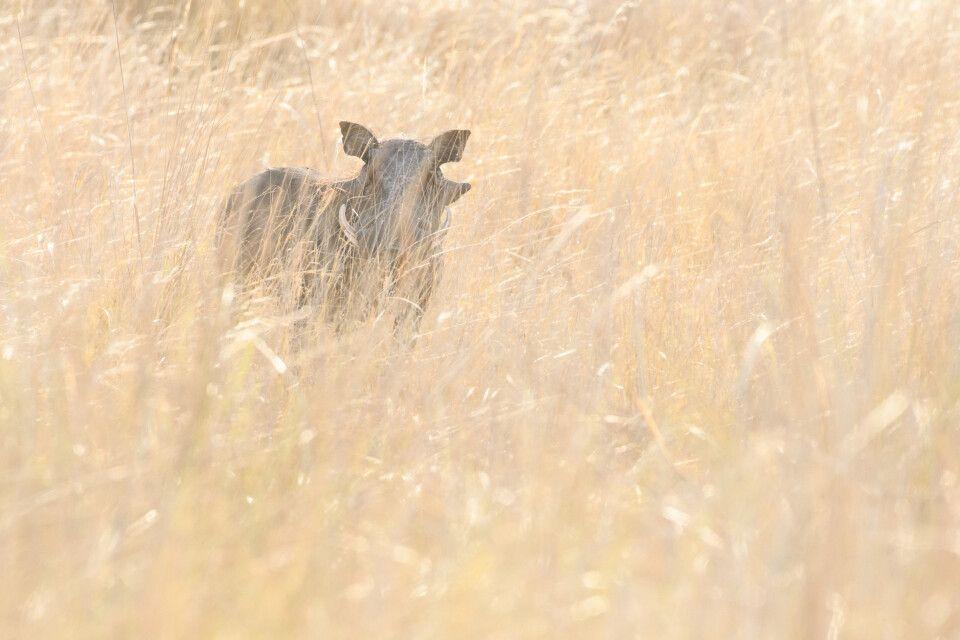 Halbherziges Versteckspiel: Warzenschwein im hohen Gras, Kwando Concession