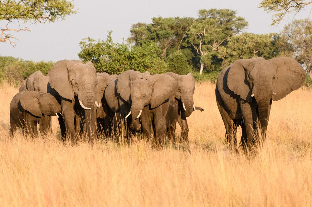 Wachsame Elefantenherde, Kwando Concession