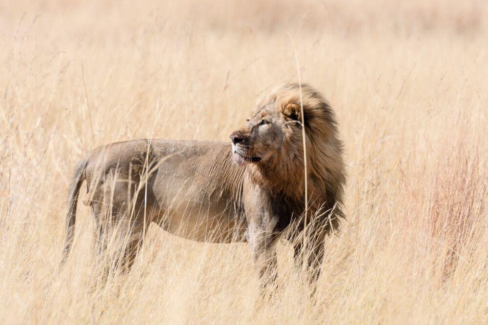 Audienz beim König der Savanne: Löwe, Kwando Concession