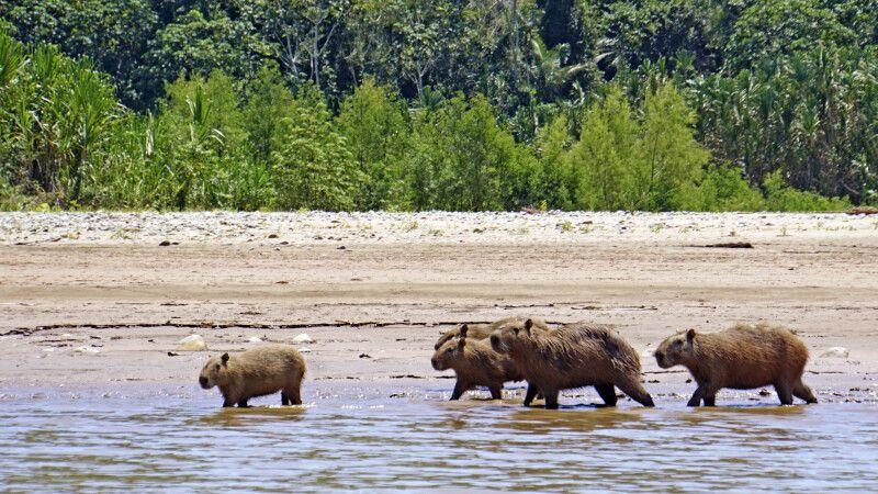 Eine Capybara-Familie (Wasserschweine) im Madidi-Nationalpark © Diamir
