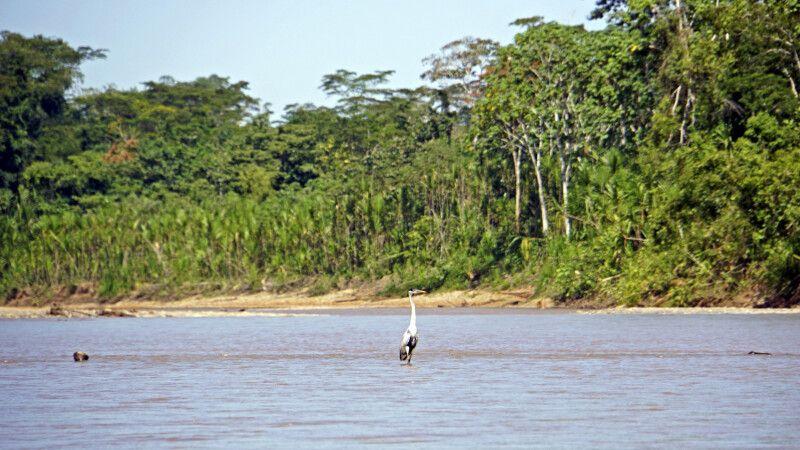 Fischreiher im Madidi-Nationalpark © Diamir