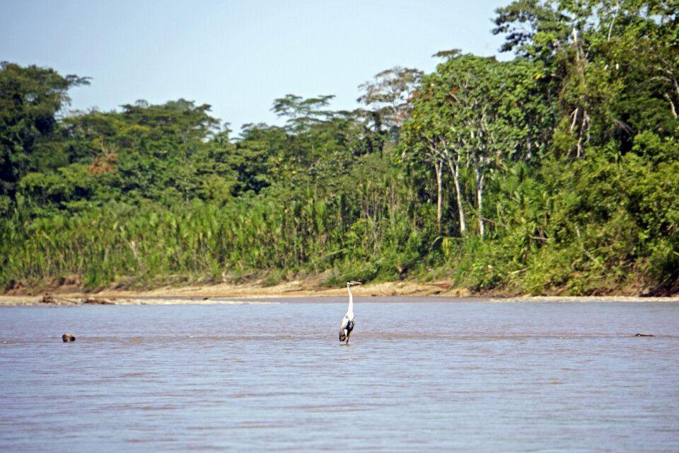 Fischreiher im Madidi-Nationalpark