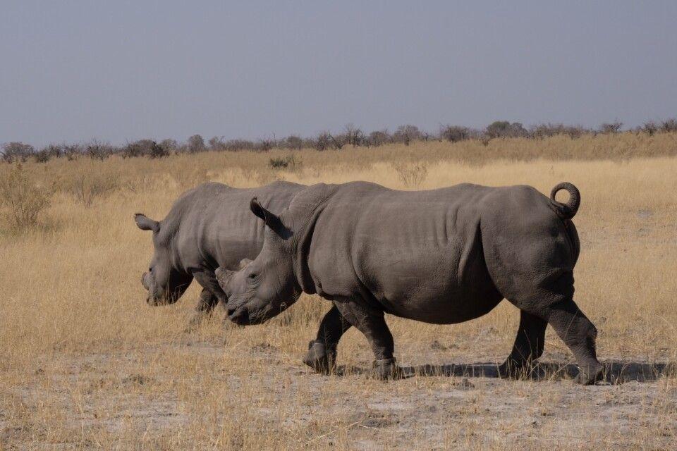 Nashörner im Etosha