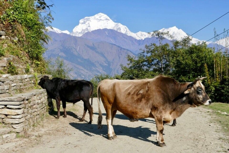 Kühe vor dem Dhaulagiri