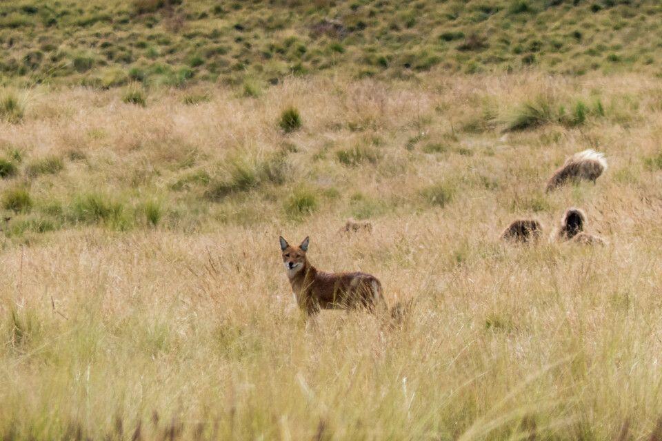 Äthiopische Wolf in den Semien Bergen