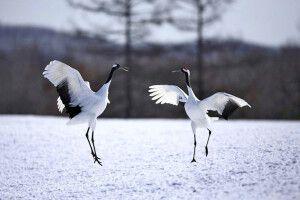 Der anmutige Tanz der Mandschurenkraniche
