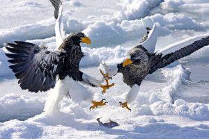 Riesenseeadler auf dem Packeis vor Rausu