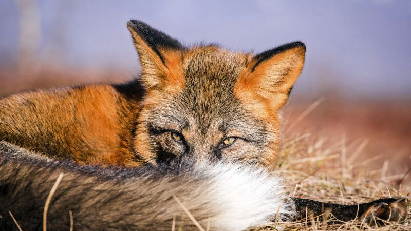 Fuchs in der Tundra © Diamir
