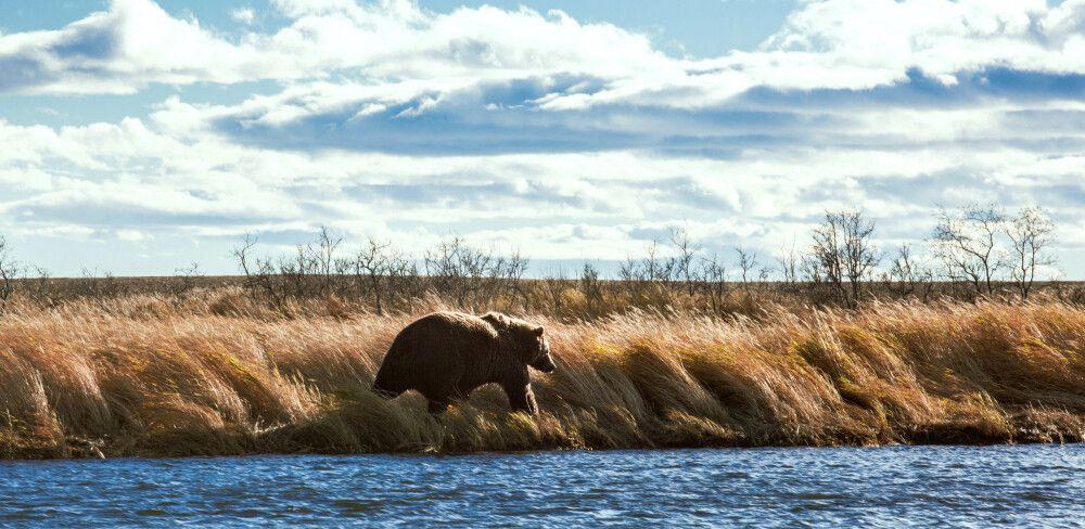 Bär am Fluss Kronotsky-See