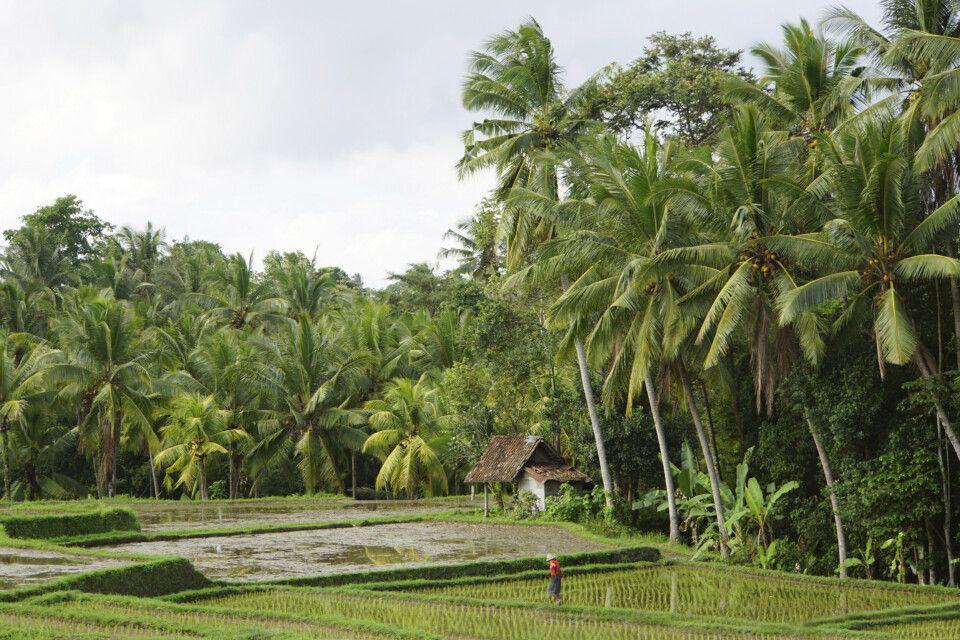Reisbauer auf seinem Feld in Ubud