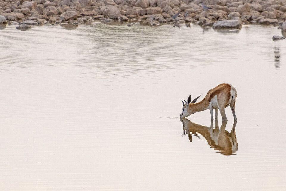 Antilope beim Trinken