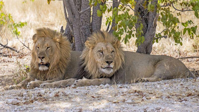 Löwen dösen im Schatten © Diamir