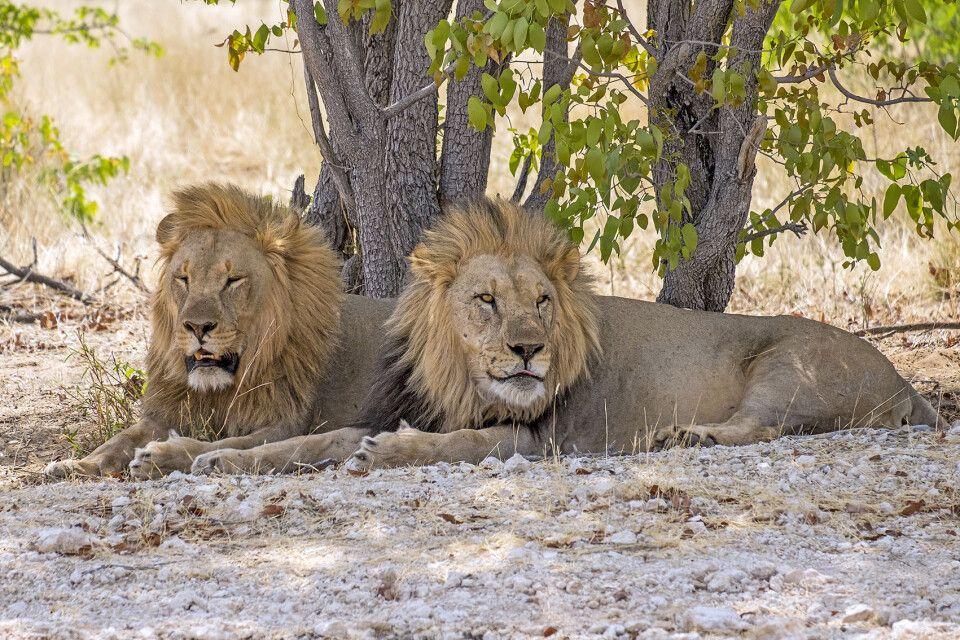 Löwen dösen im Schatten
