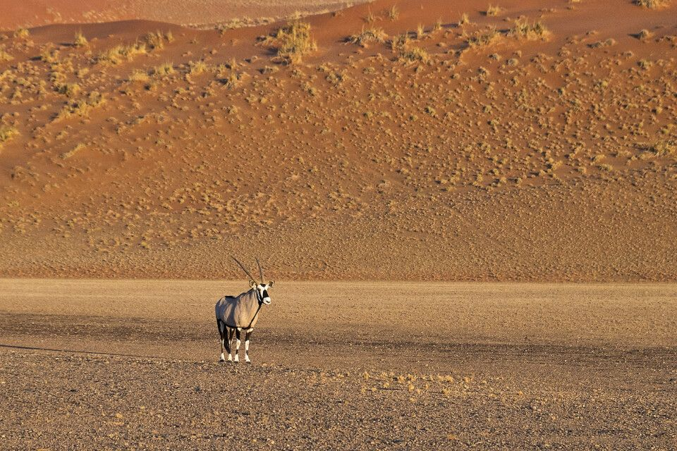 Oryxantilope im Sossusvlei