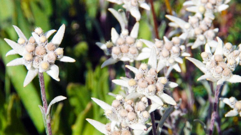 Edelweiss © Diamir