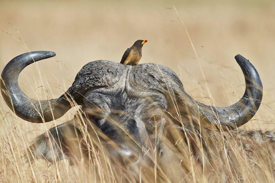 Büffel mit Madenhacker