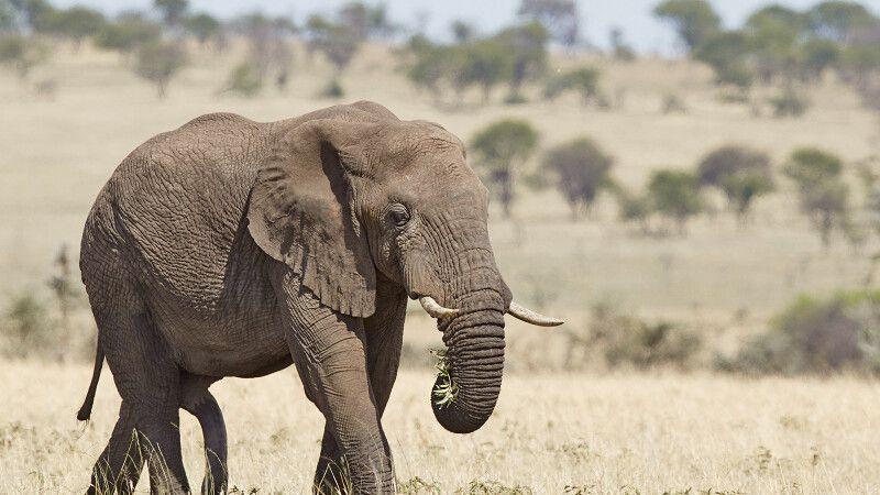 Elefantenbulle in der Serengeti © Diamir