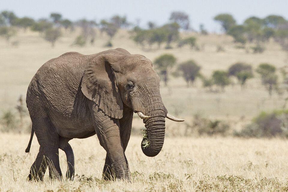 Elefantenbulle in der Serengeti