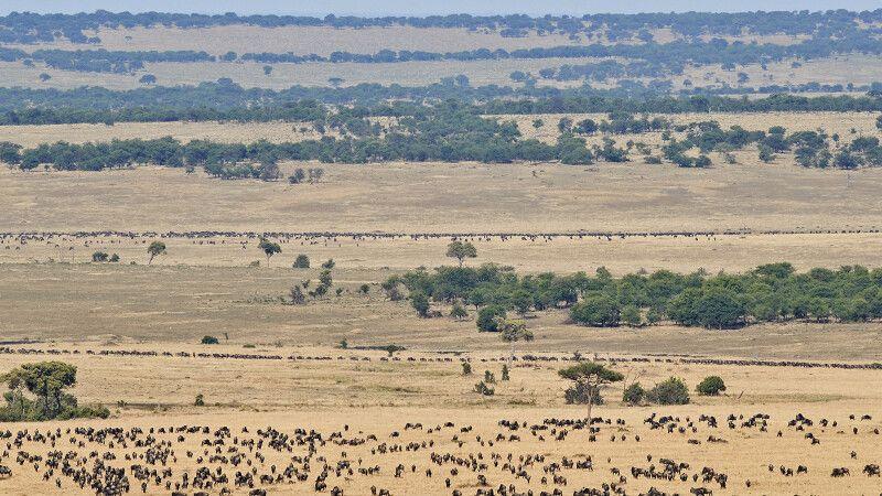 Gnuwanderung in der Serengeti © Diamir