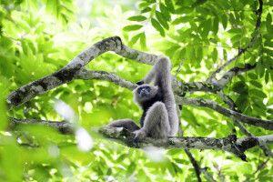Gibbon im Danum-Reservat im malayischen Bundesstaat Sabah im Nordosten der Insel Borneo