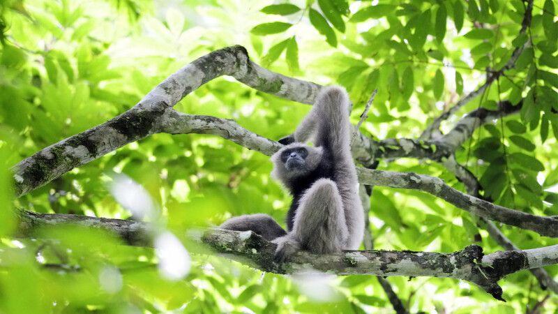Gibbon im Danum-Reservat im malayischen Bundesstaat Sabah im Nordosten der Insel Borneo © Diamir