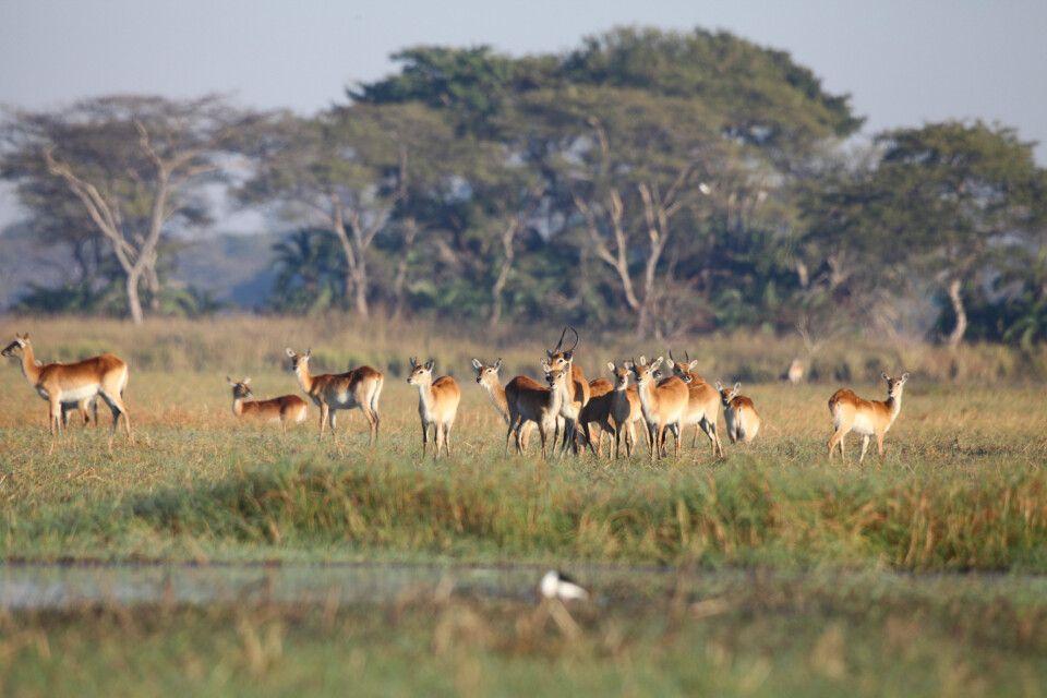 Letschwe-Antilopen im Kafue NP, Busanga Plains