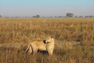 Löwe und Letschwe im Kafue NP, Busanga Plains