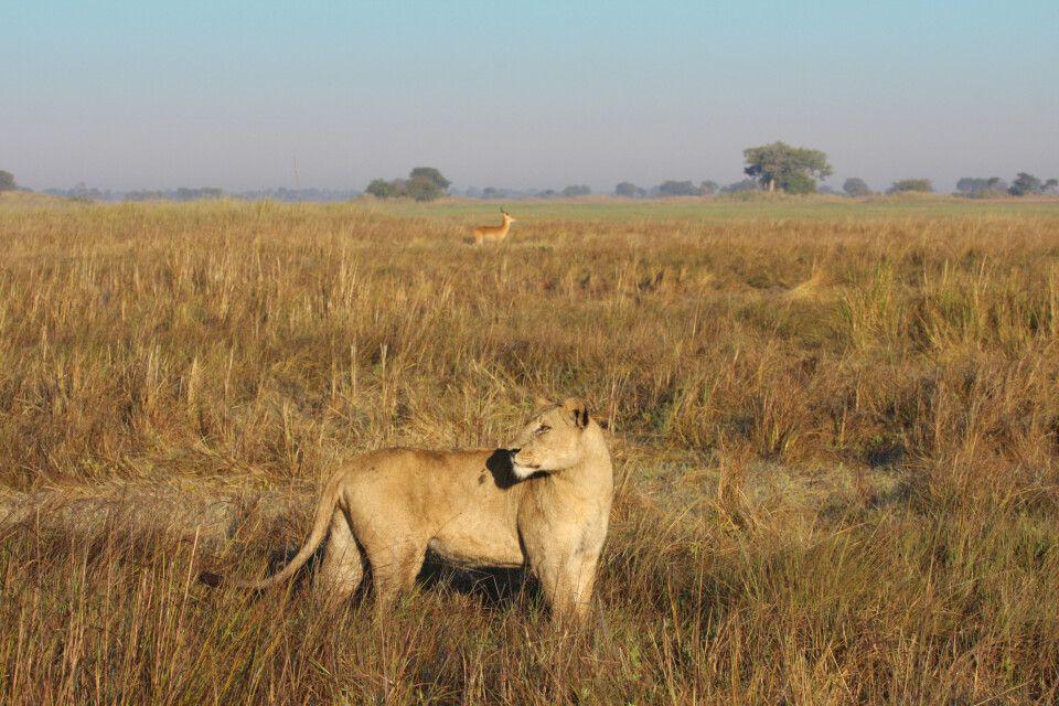 Löwe und Letschwe im Kafue NP