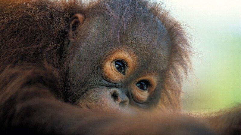 Borneo-Orang-Utan (Pongo pygmaeus) © Diamir
