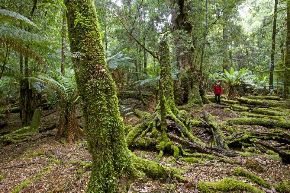 Unterwegs im Wald von Tarkine