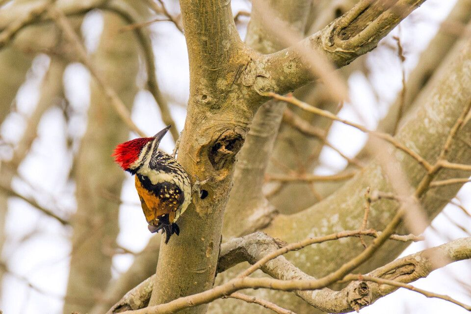 Goldmantel Sultansspecht im Keoladeo Nationalpark (Vogelpark)