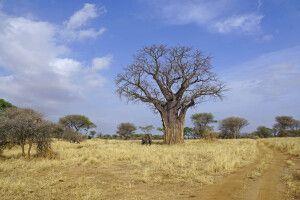Typisches Bild im Tarangire-Nationalpark: Baobab und Elefant