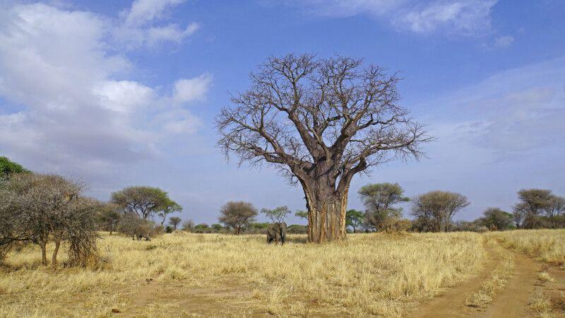 Typisches Bild im Tarangire-Nationalpark: Baobab und Elefant © Diamir