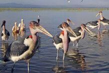 Marabus am Awassa-See