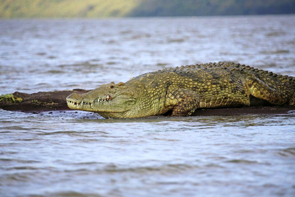 Großes Nilkrokodil im Chamo-See