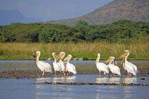 Pelikane am Chamo-See