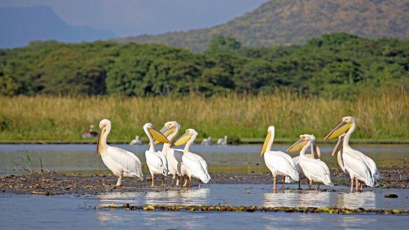Pelikane am Chamo-See © Diamir