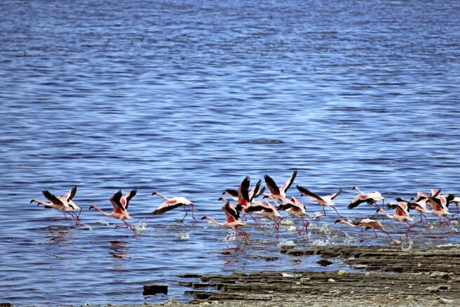 Flamingos am Shalla-See, Abiata-Shalla-Nationalpark