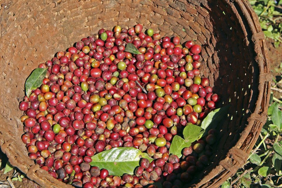 Kaffeeernte bei Yirga Alem