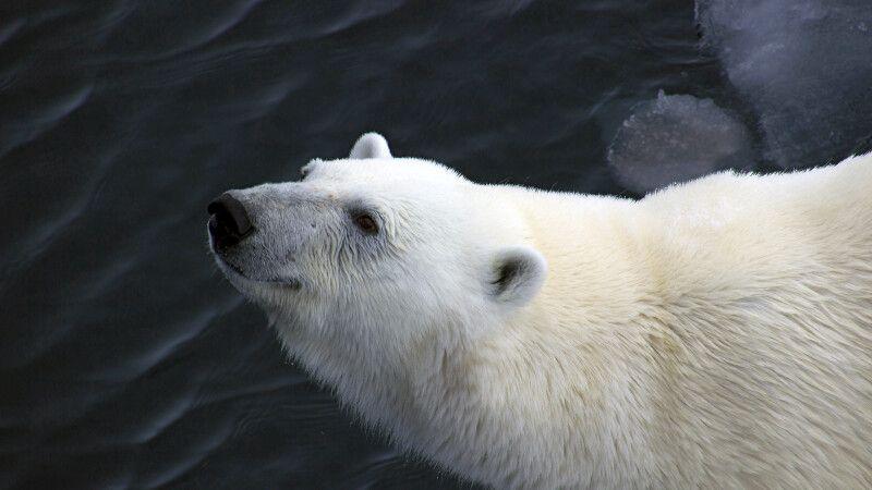 Eisbär-Portrait © Diamir