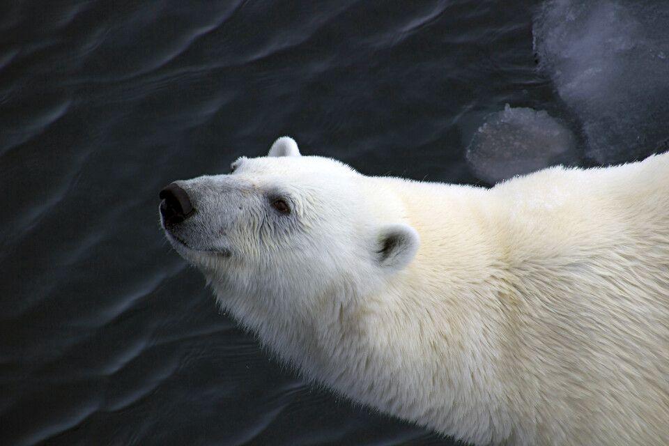 Eisbär-Portrait