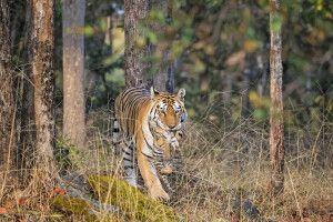 Bengalischer Tiger mit Tigerbaby
