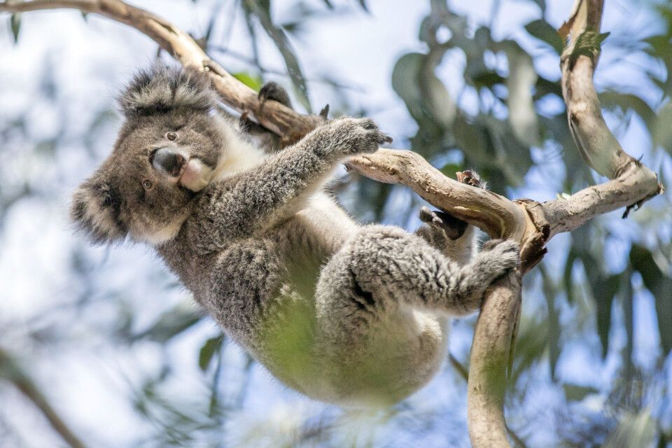 Koala im Hanson Bay Wildlife Sanctuary