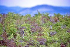 känguru (Bennett's Wallaby) im Farn auf Tasmanien