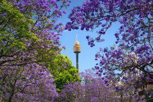 Jacaranda-Blüte in Sydney mit Blick auf den Sydney Tower