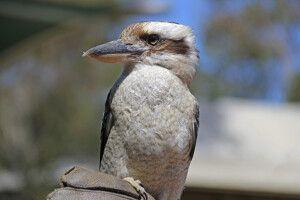 Der heimliche Star unter den australischen Vögeln: ein Kookaburra (Jägerliest) - hier auf Kangaroo Island.