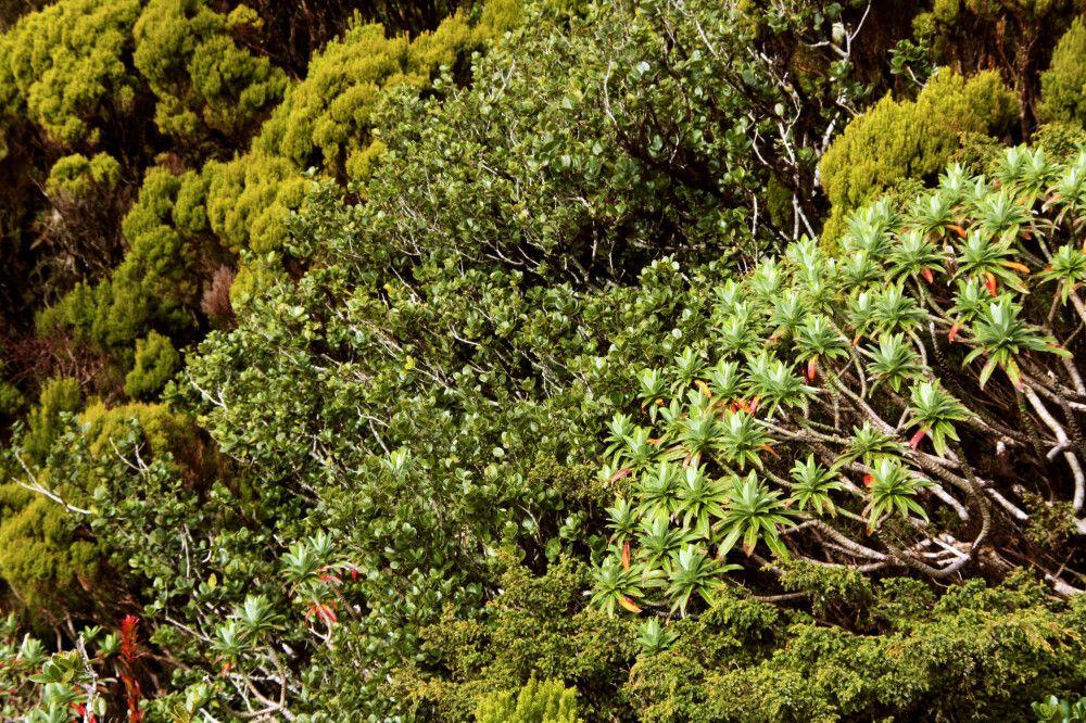 In vielen Vulkankratern konnte sich eine endemische Vegetation bilden