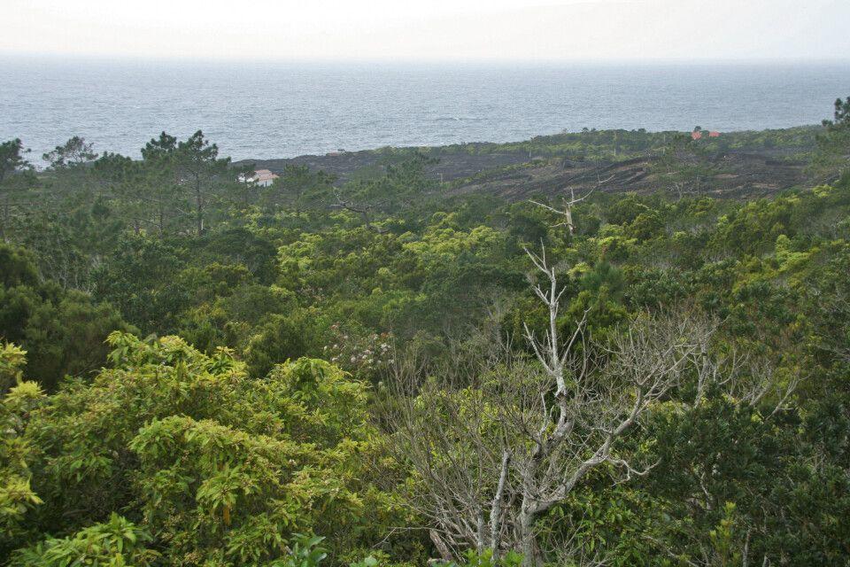 Herrliches Grün und die Vulkansteinmauern der Weinfelder auf Pico